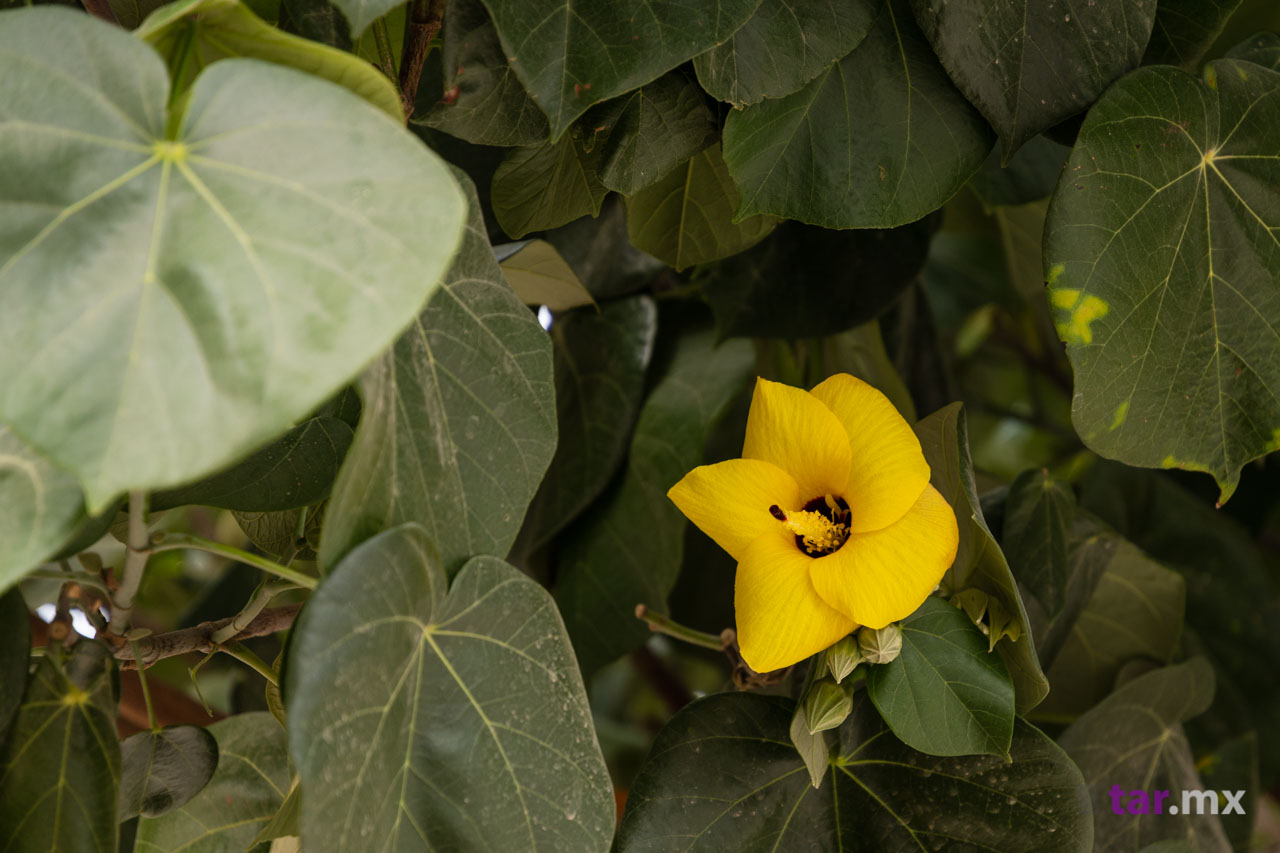 Flor de árbol mazahua