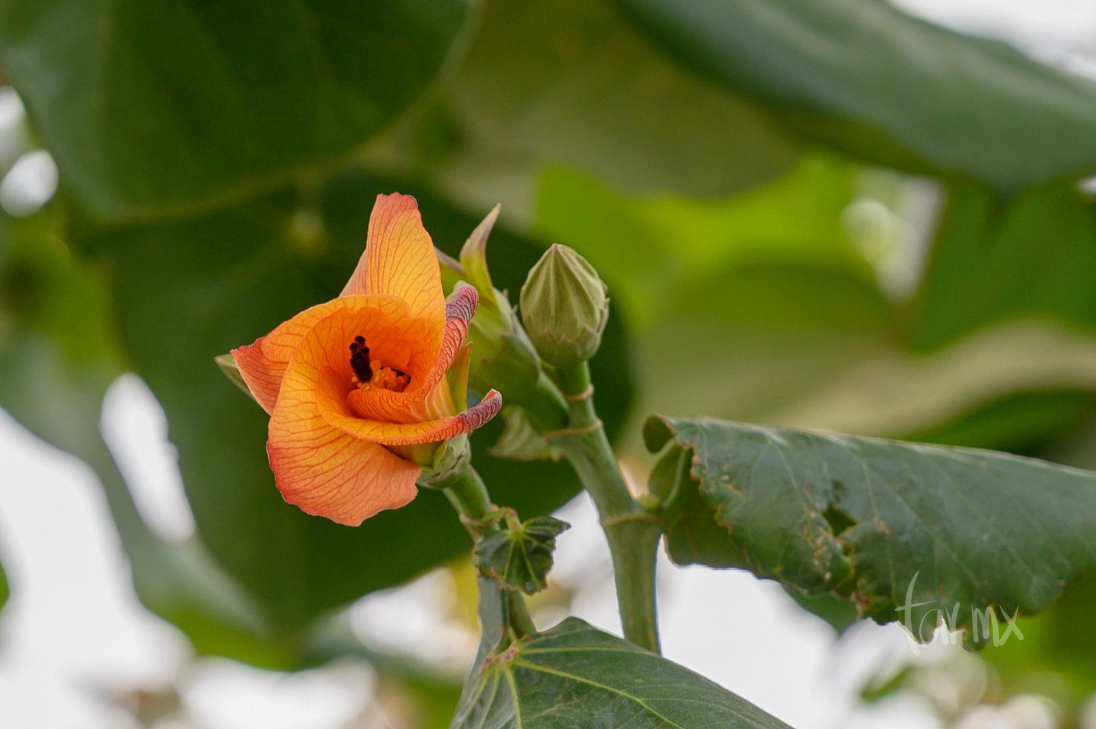 flores de Hibiscus tiliaceus
